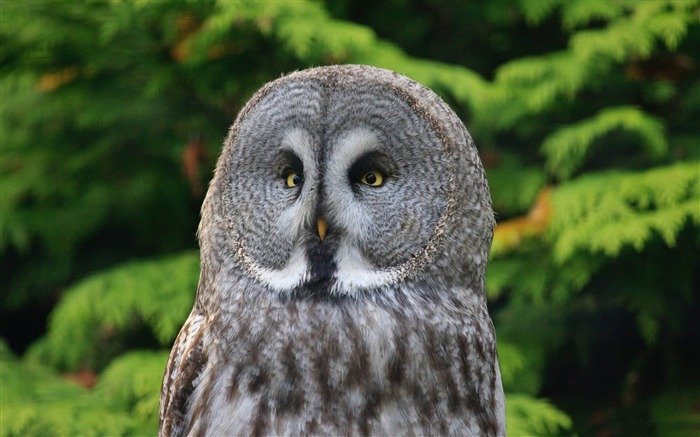 great gray owl-animal Photo Wallpaper Views:3041