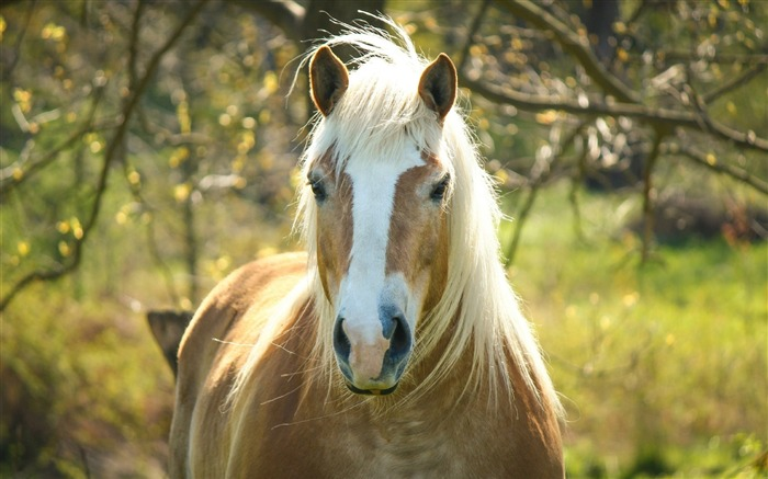 horse mane forelock-animal Photo Wallpaper Views:2580