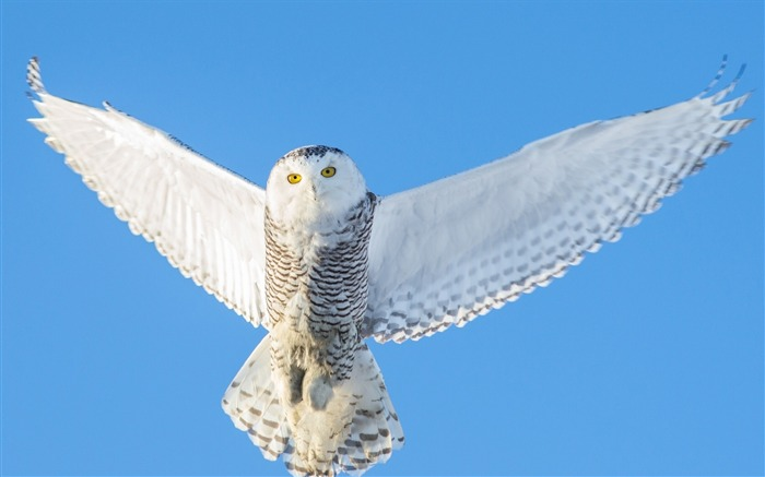 owl flight sky-animal Photo Wallpaper Views:2672