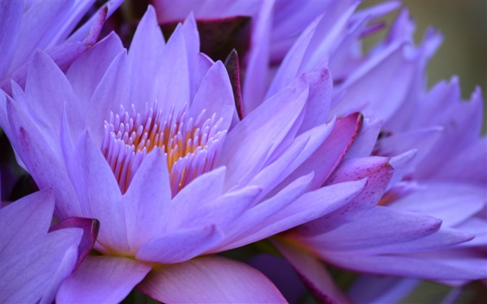 purple lotus-plants images wallpapers Views:3061