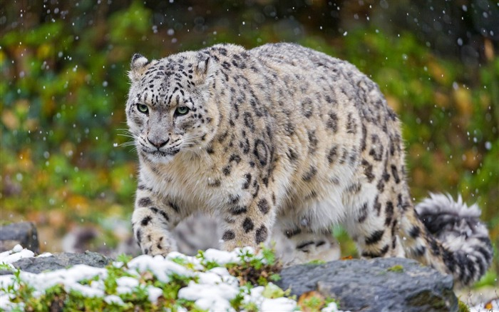 snow leopard-animal Photo Wallpaper Views:3097