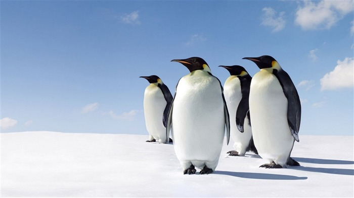 snow penguins walk-animal Photo Wallpaper Views:2595