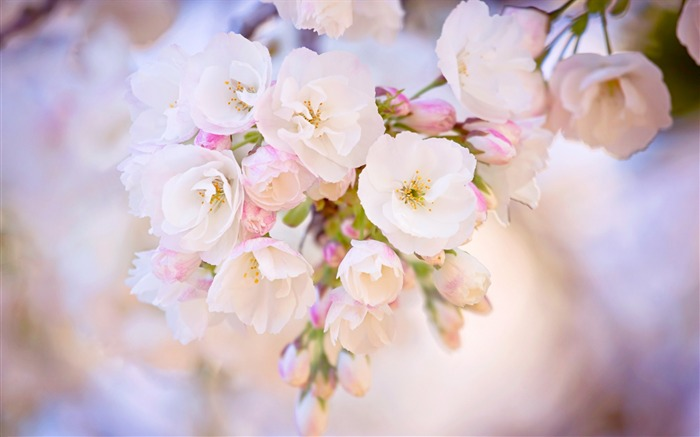 spring bloom cherry-plants images wallpapers Views:2522