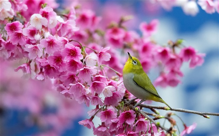 spring cherry-animal Photo Wallpaper Views:2387