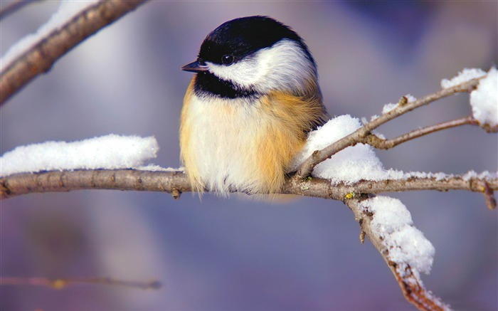 tiny bird-Animal HD Wallpaper Views:2051