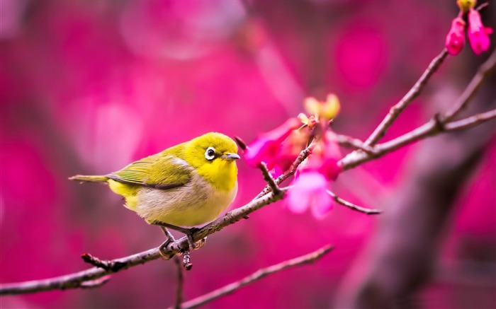 yellow bird springtime-Animal HD Wallpaper Views:3357