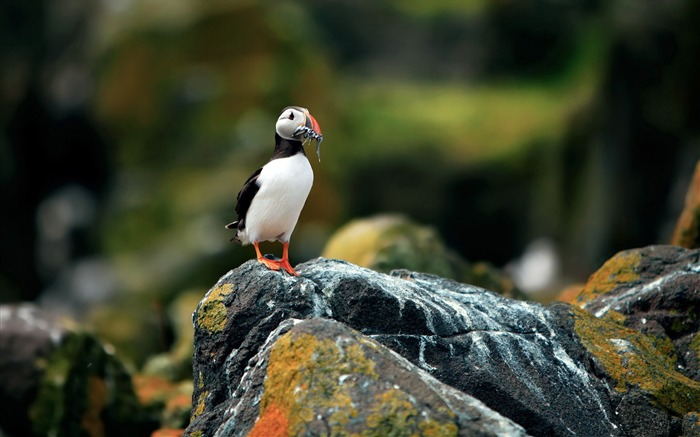 Cute Elf puffin bird photography wallpaper 13 Views:2185