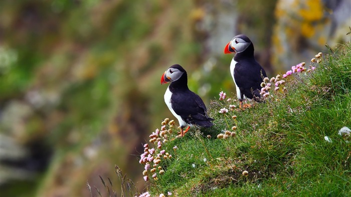 Cute Elf puffin bird photography wallpaper 14 Views:2475