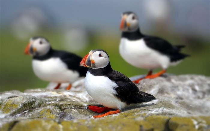 Cute Elf puffin bird photography wallpaper 15 Views:2827