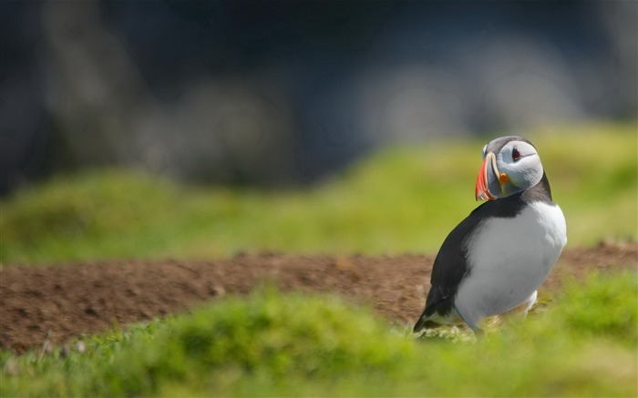 Cute Elf puffin bird photography wallpaper 16 Views:1298