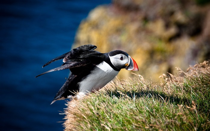 Cute Elf puffin bird photography wallpaper 19 Views:1296