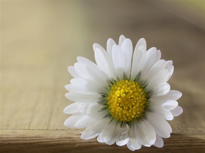close up flower daisy-Plants desktop wallpaper Views:2627