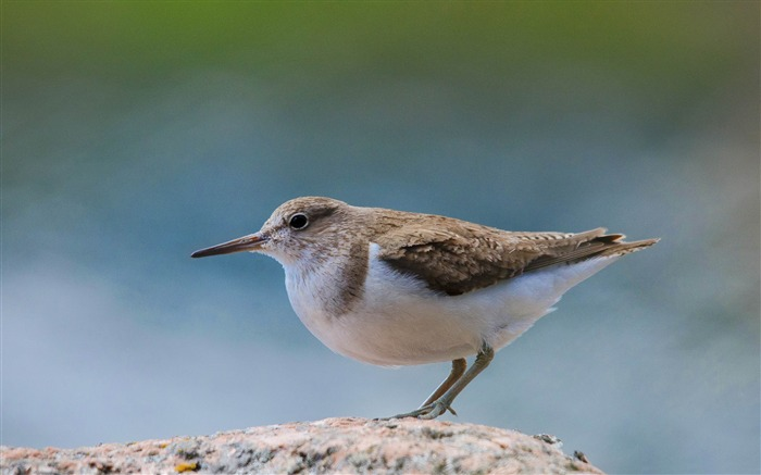 common sandpiper-Animal HD Wallpapers Views:2965