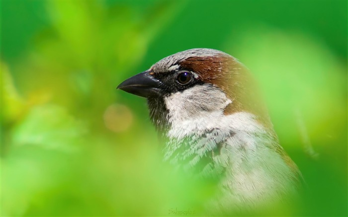 house sparrow-Animal HD Wallpaper Views:3175