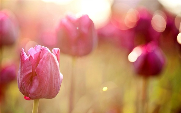 spring pink tulips-Plants desktop wallpaper Views:2134