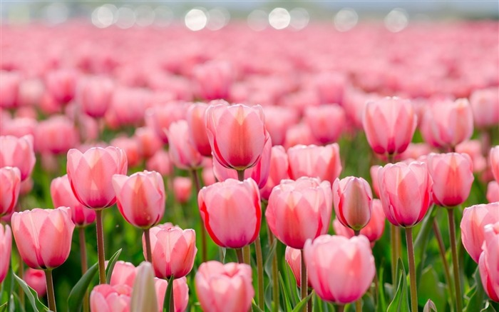 tulips spring flowers-Plants desktop wallpaper Views:1331