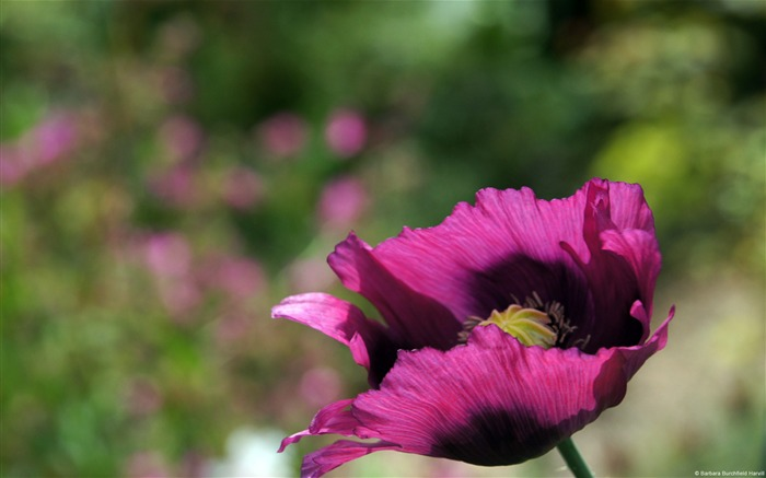 Bright purple poppies-Windows Theme Wallpaper Views:2939