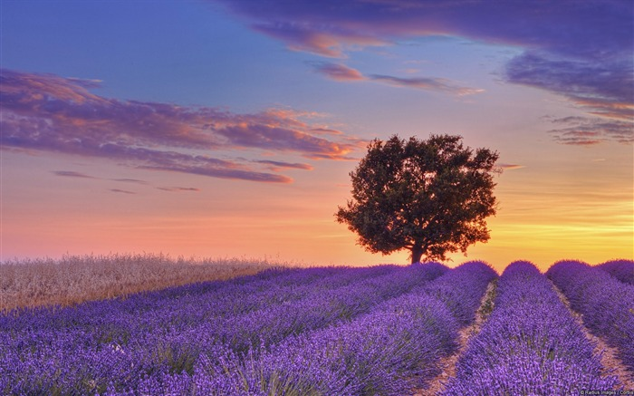 English lavender ground-Windows Theme Wallpaper Views:1779