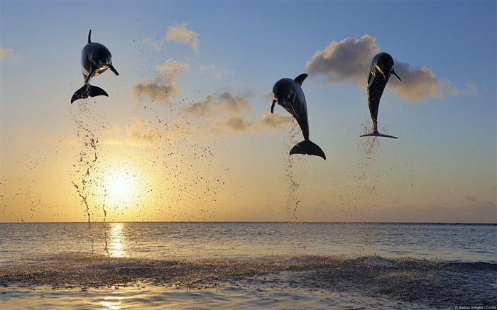Jumping Dolphins-Windows Theme Wallpapers Views:1691