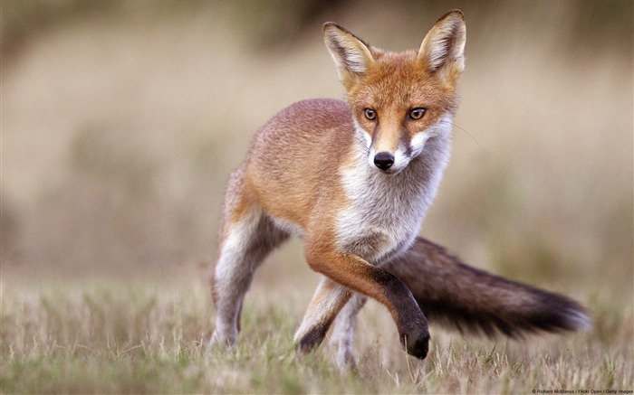 Red fox jumps-Windows Theme Wallpapers Views:3210