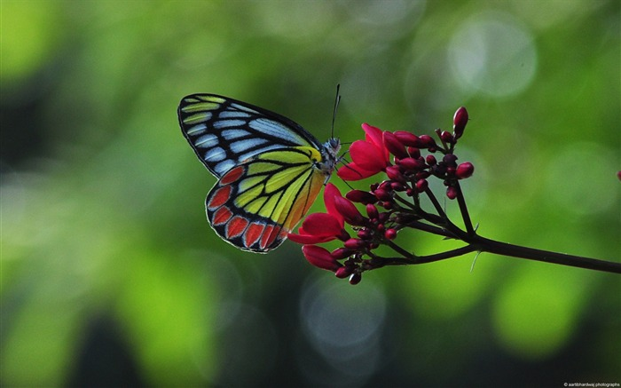 black spot butterflies-Windows Theme Wallpaper Views:2671