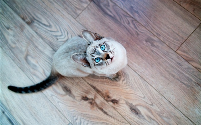 cat parquet blue eyed-Widescreen Wallpaper Views:2677