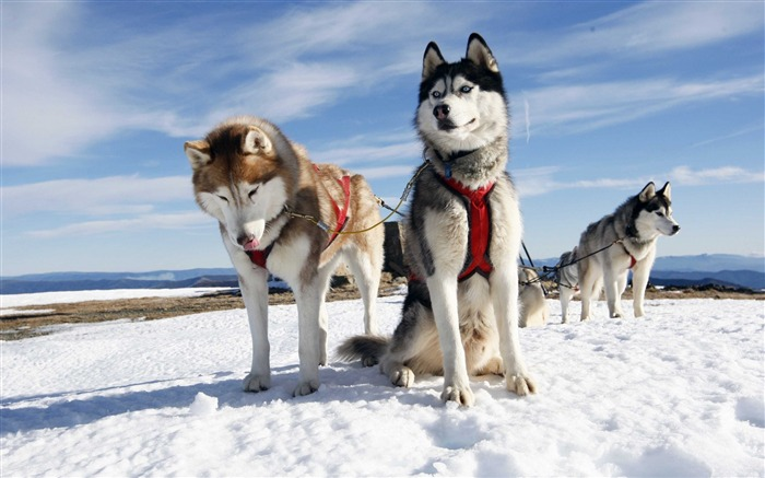 husky dogs snow-Widescreen Wallpaper Views:3506