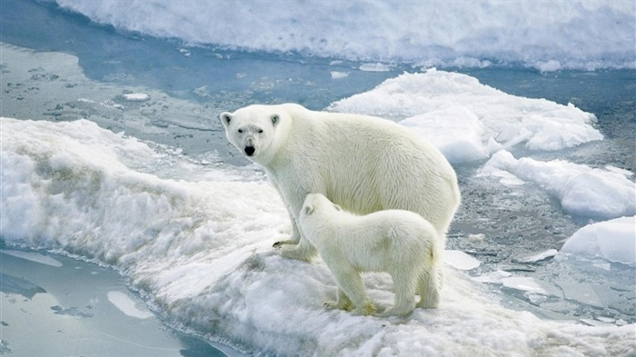polar bears ice-Widescreen Wallpaper Views:2324