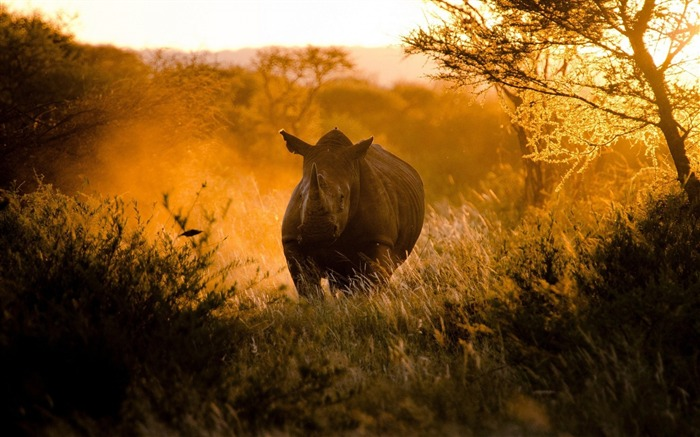 rhino morning africa-Widescreen Wallpaper Views:1610