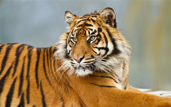 tiger predator-Widescreen Wallpaper Views:1370