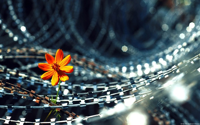 Barbed wire in flowers-Windows 8 Theme Wallpaper Views:3709
