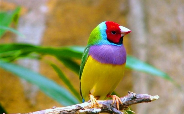 七彩雀鸟-动物高清壁纸