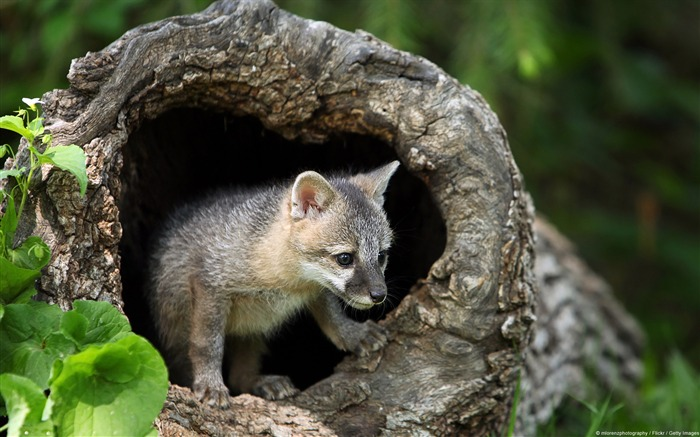 Empty timber of gray fox-Windows 8 Theme Wallpaper Views:3267
