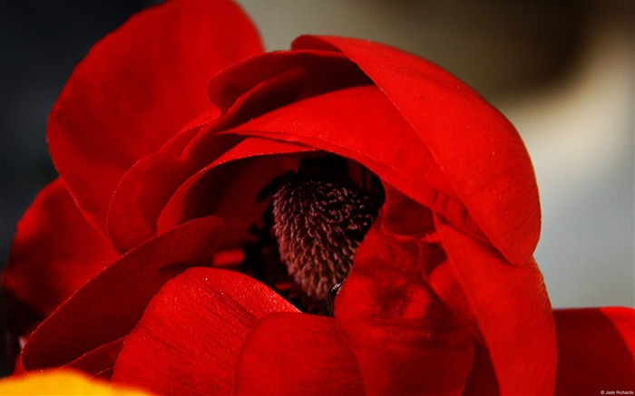 Red poppies-Windows 8 Theme Wallpaper Views:4255