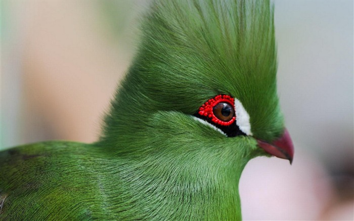 guinea turaco poultry-Animal Photo Wallpaper Views:2748