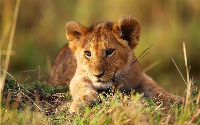 小狮子草-动物高清壁纸 预览