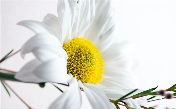 Daisy brighter tones-Windows HD Wallpaper Views:3120