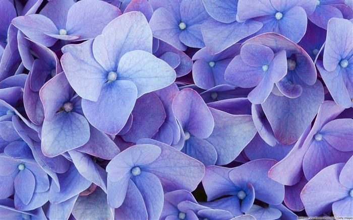 Hydrangea-Windows HD Wallpaper Views:2933
