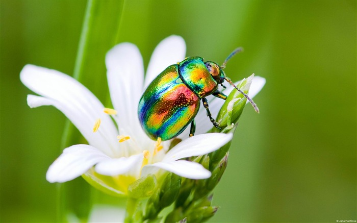 Iridescent beetle-Windows HD Wallpaper Views:3173