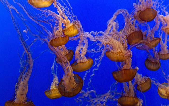 Jellyfish-Windows HD Wallpaper Views:2726