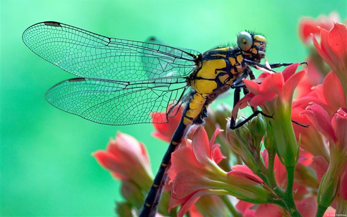 Pink spend yellow dragonfly-Windows Theme Wallpaper Views:2934