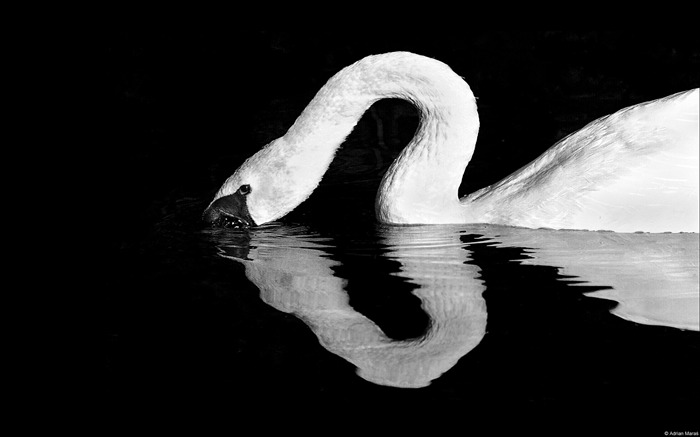 Swan quiet image-Windows Theme Wallpaper Views:2840