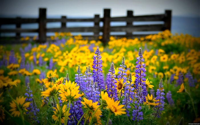 Washington State Wildflower-Windows HD Wallpaper Views:1704