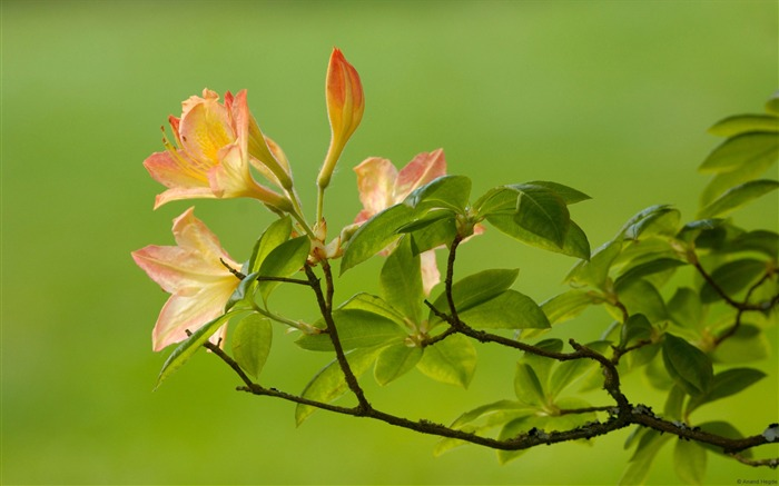 Azalea-Windows Theme Wallpaper Views:2689