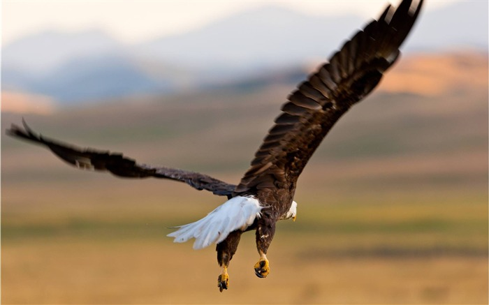Bald Eagle in Flight-photography HD wallpaper Views:3467
