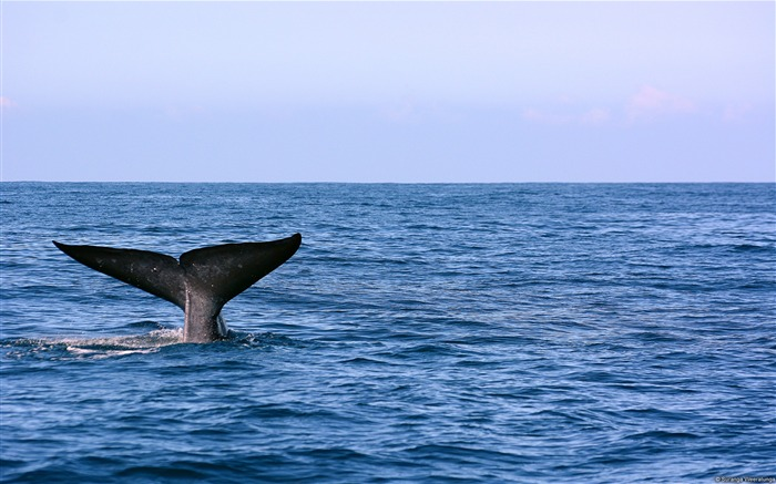 Blue Whale Tail-Windows Theme Wallpaper Views:3341