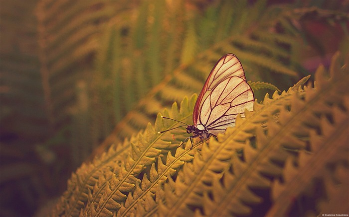 Butterfly fern-Windows Theme Wallpaper Views:2973