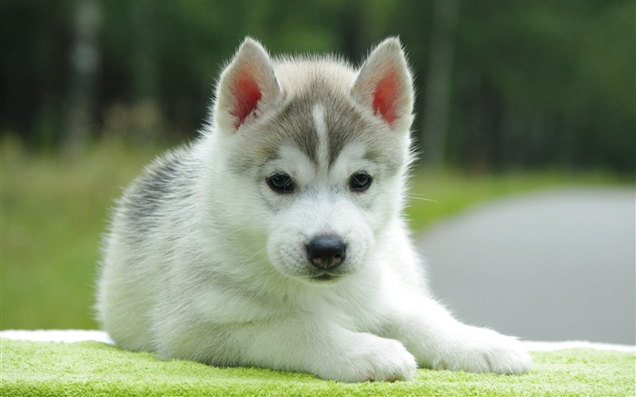 Cute Pomsky Puppy-Animal photo wallpaper Views:4151