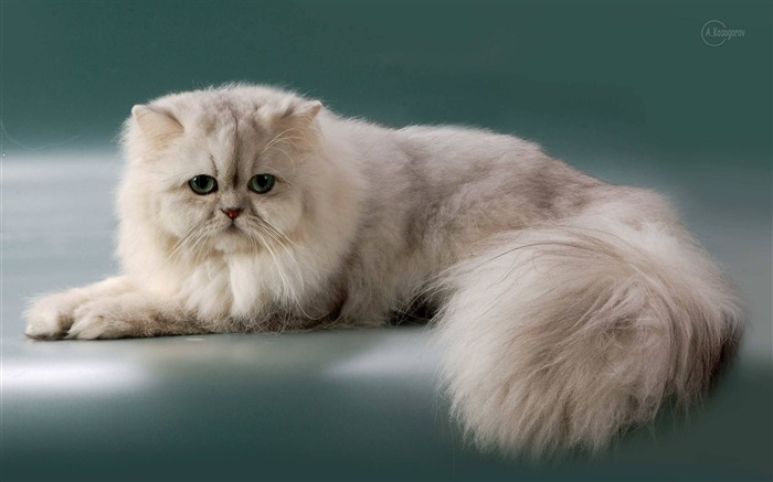 Fluffy Persian Cat-photography HD wallpaper Views:4648