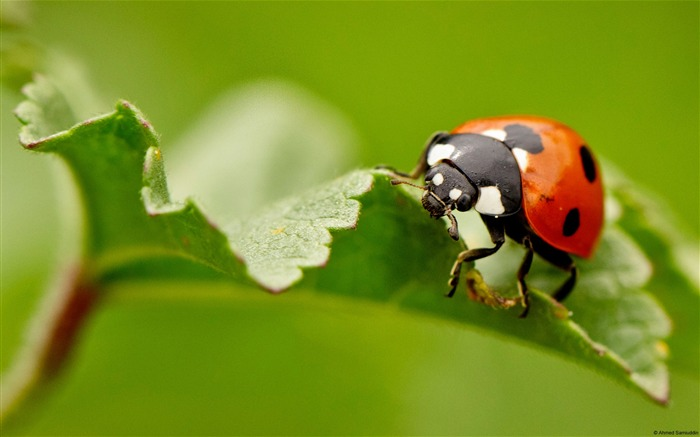 Ladybug on a leaf-Windows Theme Wallpaper Views:2888